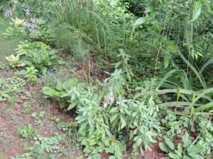 Sue's perennial herbs